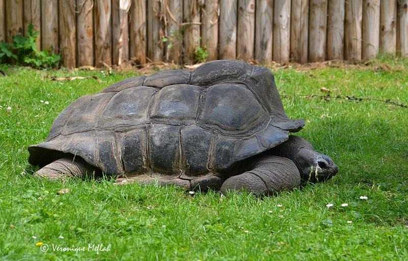 Ménagerie du Jardin des Plantes : Périclès tortue des Seychelles