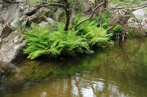 Vertus médicinales des plantes sauvages : Osmonde royale