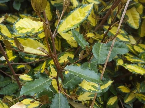 Les plantes panachées
