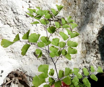 Adiantum capillus veneris - capillaire de Montpellier