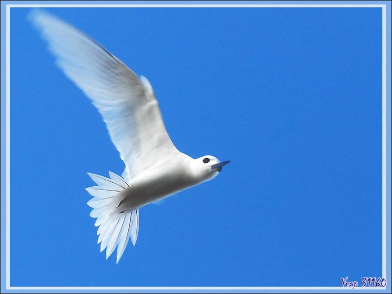 Gygis blanche ou Sterne blanche, White Tern (Gygis alba) - Ile aux oiseaux - Vers la passe sud Tumakohua (Tetamanu) - Atoll de Fakarava - Tuamotu - Polynésie française