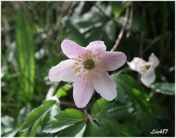 DSCF2607-anemone-Sylvie-rose.jpg