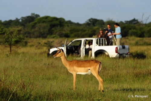 Impala vigilance on the Airstrip