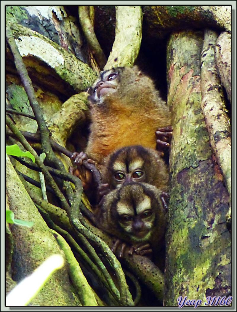 Douroucoulis ou singes de nuit ou singes hibou - Salt Creek - Isla Bastimentos - Bocas del Toro - Panama