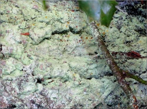 Autres lichens.