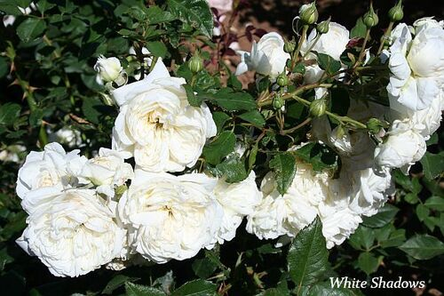 Les Roses de Warren : White Shadows