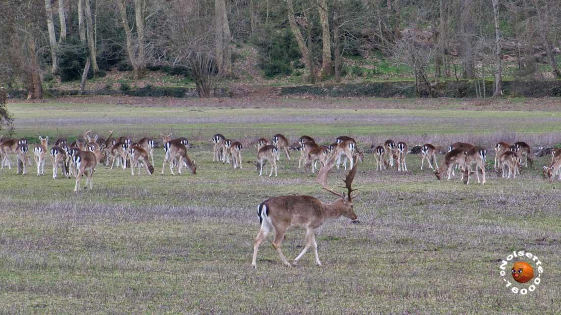 Au pied du château de nombreux cerfs et biches