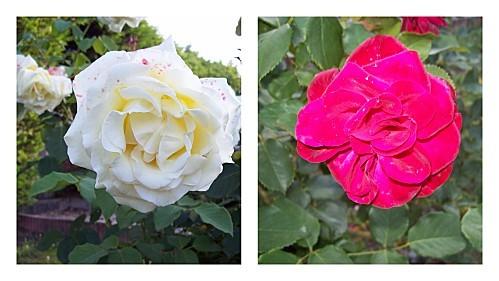 2-roses-29-juillet-2011.jpg