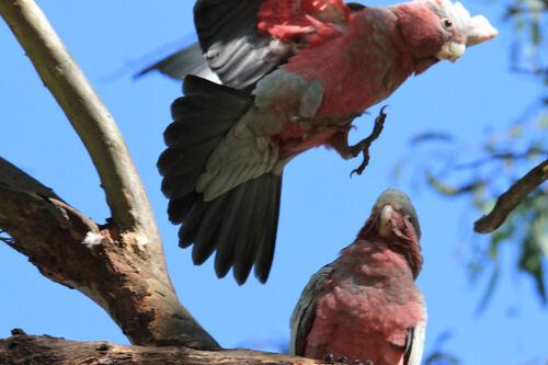Cacatoès rosalbin (Galah) Australie