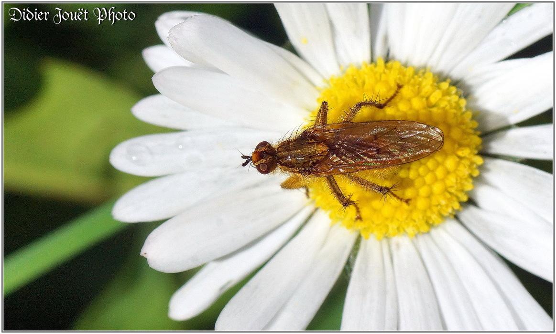Mouche Scatophage du Fumier / Scathophaga stercoraria