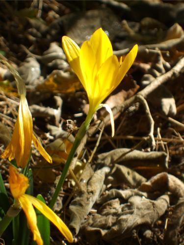 Sternbergia-contrejour.jpg