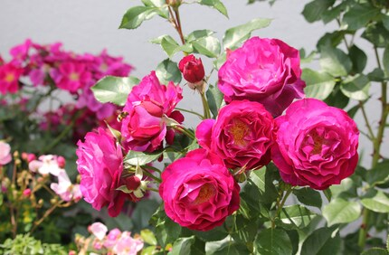 rose rouge pourpre lavande 'Blue Eden' de Tom Carruth