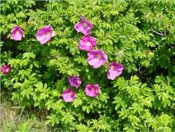 Fleurs du marais. (4)
