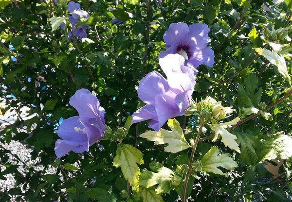 Altéa - Hibiscus des jardins