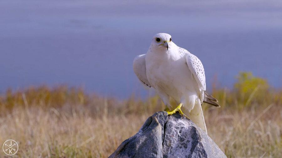 VIDÉO ET PHOTOS DE - BIRDS OF PREY 4K (ULTRA HD) 60fps - (OISEAUX DE PROIE)