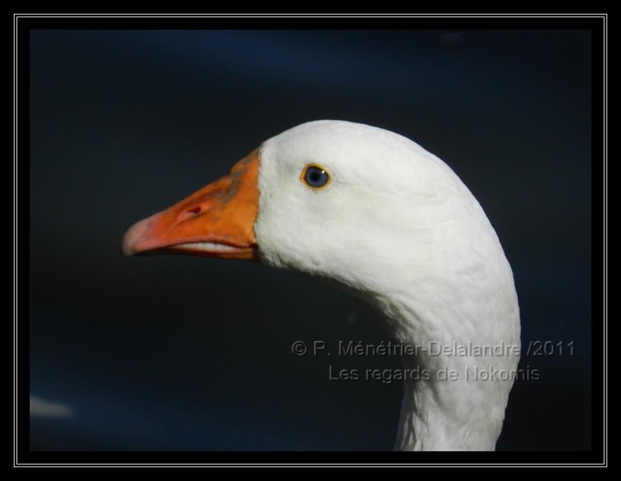 Muata, l'Oie blanche...