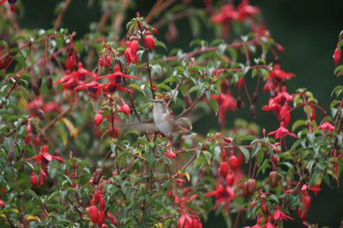 Colibri Roux Colombie Britannique