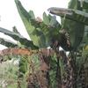 Togo Piste dans la forêt bananiers