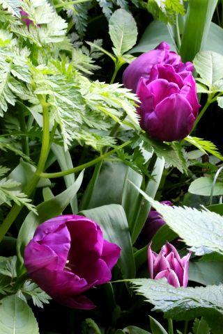 Tulipes 2021 : Triumph Blue Purple