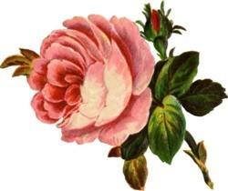 large-soft-pink-rose.jpg