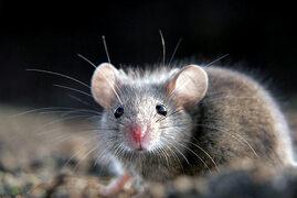 souris grise Rodentia, petits mammifères