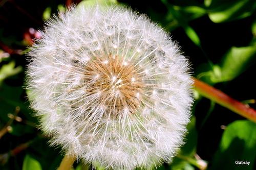 Pissenlit: après les fleurs!