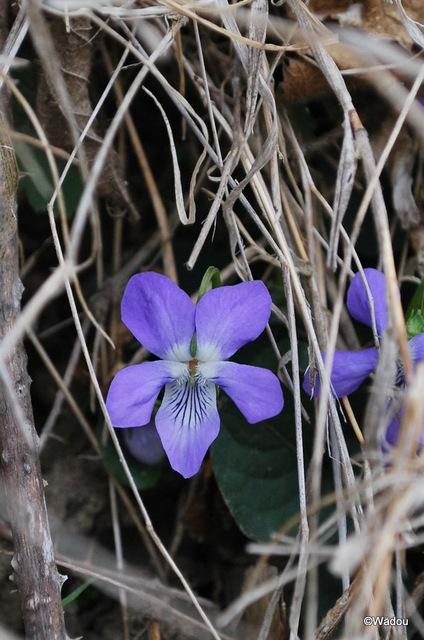 La Violette des bois ou Violette de Reichenbach (Viola reichenbachiana) Violaceae