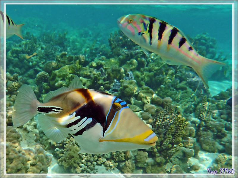 Baliste Picasso clair, Blackbar triggerfish (Rhinecanthus aculeatus) et Labre à taches d'encre ou Girelle-paon de Hardwicke - Jardin de Corail - Motu Tautau - Taha'a - Polynésie française