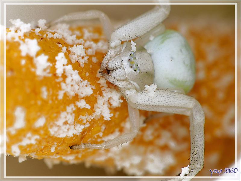 Araignée crabe Thomise variable (Misumena vatia) sur fleur d'arum - Lartigau - Milhas - 31