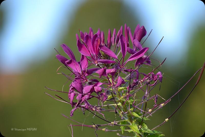 La Cléome ou Fleur araignée