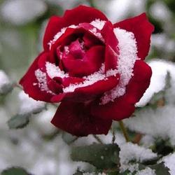 Il a neigé sur une Rose ( dédicace pour Rose )