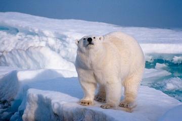 L'ours blanc serait noir ?
