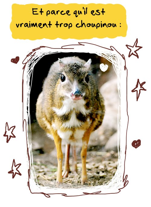 Le chevrotain aquatique