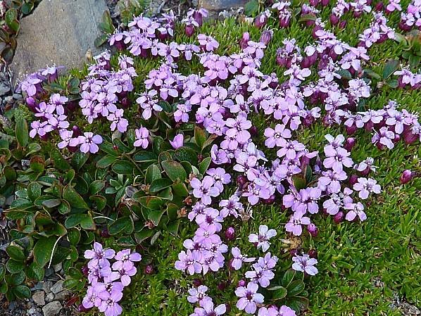 Jour 19 Jasper Tramway fleurs 2