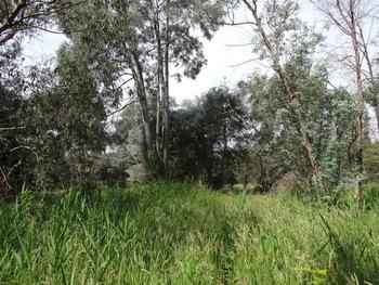 Les eucalyptus
