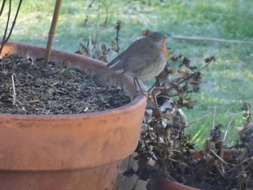 Rouge gorge de mon jardin