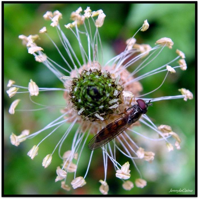 Plantain lancéolé - Plantago lanceolata