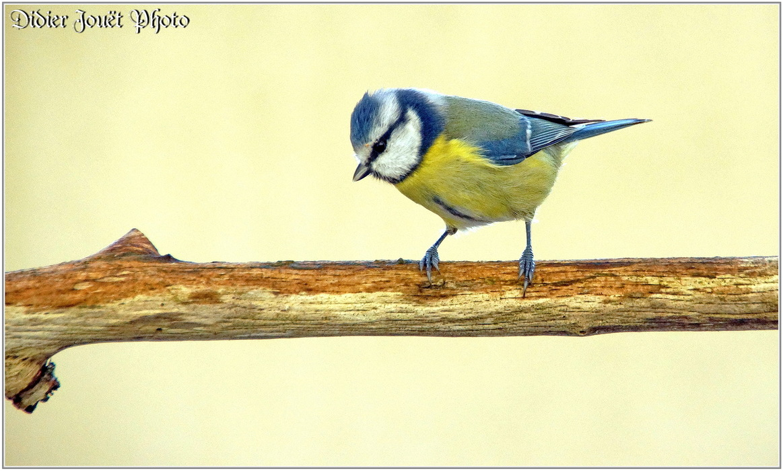Mésange Bleue / Cyanistes caeruleus