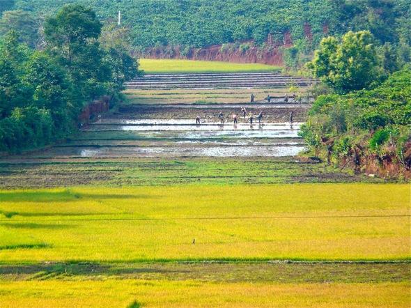 les rizières du Vietnam