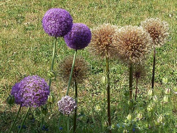 Ail-fleurs et secs