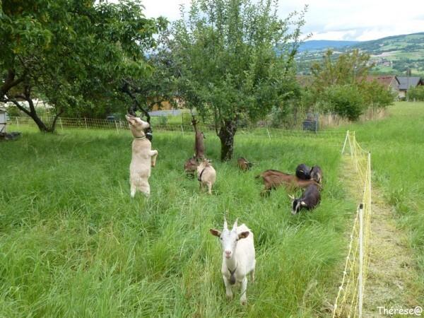 Les chèvres (13)