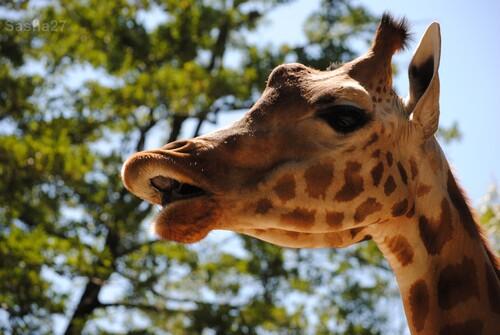 (3) La girafe de Kordofan.