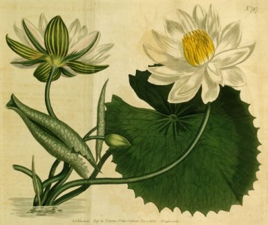 Lotus, ici Nymphaea lotus