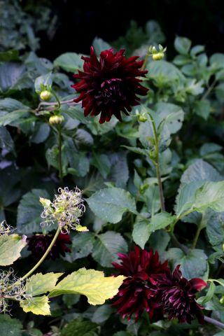 Dahlias : Sam Hopkins