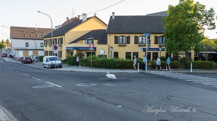 Souffelweyersheim (67) : Histoire de cygne et de canards