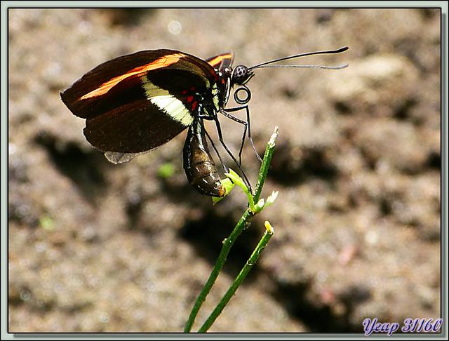 Blog de images-du-pays-des-ours : Images du Pays des Ours (et d'ailleurs ...), L'envol du papillon (Heliconius erato ?) - Tortuguero - Costa Rica