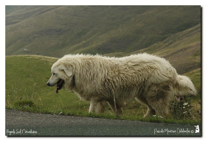 Les Patous dans les Hautes Pyrénées