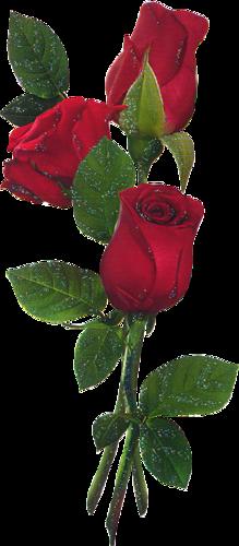 Roses ( divers ) 8