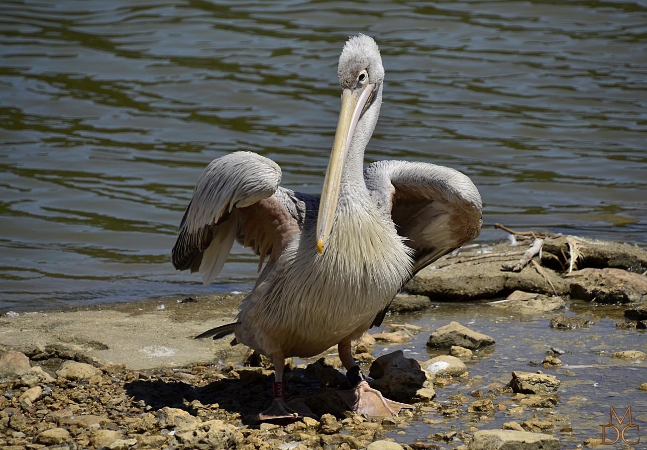 Jeune Pélican gris