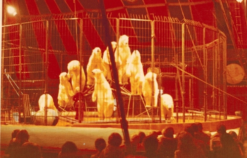 les grands moments du cirque Jean Richard (1): Ursulla Bottcher et ses ours blancs